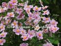 "Анемона японская ""Robustissima"" (Anemone japonica)"