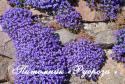 """Обриета """"Cascade Blue"""" (Aubrieta)"""