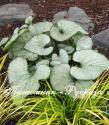 """Бруннера крупнолистная """"Silver Heart"""" (Brunnera macrophylla)"""