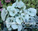 """Бруннера крупнолистная """"Alexander's Great"""" (Brunnera macrophylla)"""