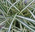 Осока птиценожковая Variegata (Carex ornithopoda)