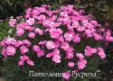 "Гвоздика перистая ""Dinetta Pink"" (Dianthus plumarius)"