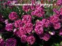 """Гвоздика перистая """"James Portman"""" (Dianthus plumarius)"""