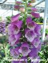 "Наперстянка ""Dalmation Purple"" (Digitalis)"