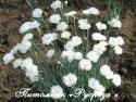 """Гвоздика перистая """"Double White"""" (Dianthus plumarius)"""