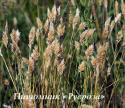 Душистоколосник обыкновенный (Anthoxanthum odoratum)