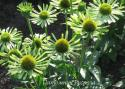 "Эхинацея пурпурная ""Green Jewel"" (Echinacea purpurea)"