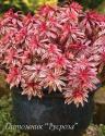 "Молочай миндалевидный ""Frosted Flame"" (Euphorbia amygdaloides)"