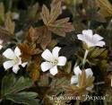 "Герань ""Sanne"" (Geranium sessiliflorum)"