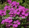"Герань ""Patricia"" (Geranium hybride)"
