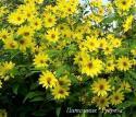 """Подсолнечник """"Lemon Queen"""" (Helianthus)"""