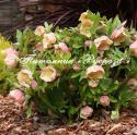 Морозник восточный (Helleborus orientalis)