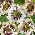 "Морозник восточный ""Double Ellen White Spotted"" (Helleborus orientalis)"