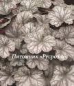 "Гейхера (Heuchera hybride) ""Flores Sea"""