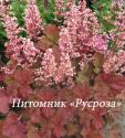 "Гейхера (Heuchera hybride) ""Pink Pearls"""