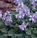 "Хоста ""Blue mouse ears"" (Hosta)"