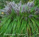 """Пеннисетум лисохвостовый """"Moudry"""" (Pennisetum alopecuroides)"""