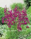 "Пенстемон Хартвега ""Polaris Pink"" (Penstemon hartwegii)"