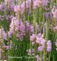 """Физостегия виргинская """"Bouquet Rose"""" (Physostegia virginiana)"""