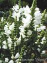"""Физостегия виргинская """"Summer Snow"""" (Physostegia virginiana)"""