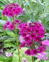 "Примула японская ""Carminea"" (Primula japonica)"