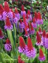 Примула Виаля (Primula vialii)