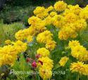 """Рудбекия рассеченная """"Goldquelle"""" (Rudbeckia laciniata)"""