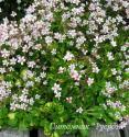 Камнеломка тенистая variegata (Saxifraga urbium)