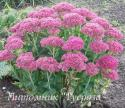 "Очиток ""Munstead Dark Red"" (Sedum)"