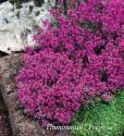 "Тимьян ранний ""Red Carpet"" (Thymus praecox)"