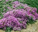 "Тимьян ранний ""Pseudolanuginosus"" (Thymus praecox)"