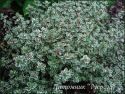 "Тимьян лимоннопахнущий ""Silver Queen"" (Thymus citriodorus)"