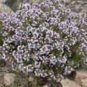 "Тимьян обыкновенный ""Compactus"" (Thymus vulgaris)"