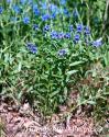 Воробейник пурпурно-синий (Aegonychon purpureocaeruleum)