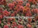 "Ацена мелколистная (Acaena microphylla) ""Kupferteppich"""