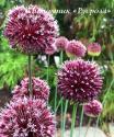 "Лук аметистовый ""Forelock"" (Allium amethystinum)"