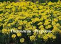 """Алиссум горный """"Berggold"""" (Alyssum montanum)"""