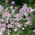 "Анемона японская ""September Charm"" (Anemone japonica)"