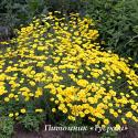 "Пупавка ""Dwarf Form"" (Anthemis)"