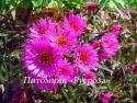 "Астра новоанглийская ""Alma Poetschke"" (Symphyotrichum novae-angliae)"