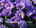 """Астра кустарниковая """"Blaue Laguna"""" (Symphyotrichum dumosum)"""