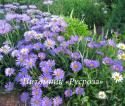 """Астра кустарниковая """"Lady in Blue"""" (Symphyotrichum dumosum)"""