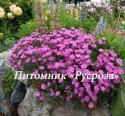 "Гвоздика перистая ""Dinetta Lila"" (Dianthus plumarius )"
