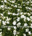 "Гвоздика травянка ""Albiflorus"" (Dianthus deltoides)"