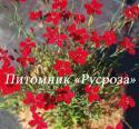 """Гвоздика травянка (Dianthus deltoides) """"Leuchtfunk"""""""