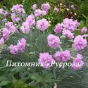 "Гвоздика перистая ""Double Rose"" (Dianthus Plumarius)"