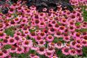 """Эхинацея пурпурная """"Rozenrad"""" (Echinacea purpurea)"""