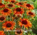 "Эхинацея пурпурная ""Orange Passion"" (Echinacea purpurea)"
