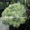 """Молочай """"Silver Swan"""" (Euphorbia characias)"""