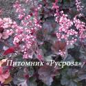 "Гейхера (Heuchera hybride) ""Cassis"""